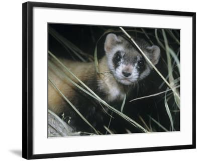Black-Footed Ferret (Mustela Nigripes), a Highly Endangered Species of North American Mammal-Ken Lucas-Framed Photographic Print