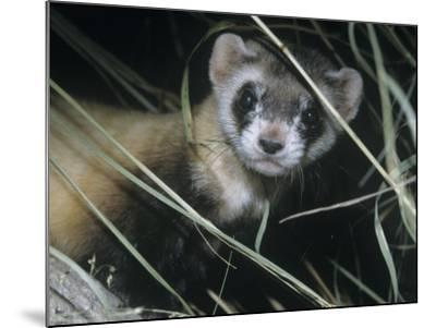Black-Footed Ferret (Mustela Nigripes), a Highly Endangered Species of North American Mammal-Ken Lucas-Mounted Photographic Print