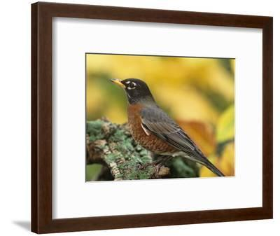 American Robin Male on a Snag (Turdus Migratorius). North America-Steve Maslowski-Framed Photographic Print