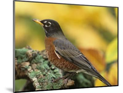 American Robin Male on a Snag (Turdus Migratorius). North America-Steve Maslowski-Mounted Photographic Print