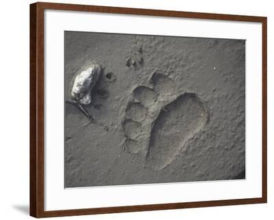 Grizzly Bear (Ursus Arctos) Track in Mud, Alaska, USA-Tom Walker-Framed Photographic Print