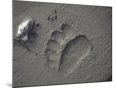 Grizzly Bear (Ursus Arctos) Track in Mud, Alaska, USA-Tom Walker-Mounted Photographic Print