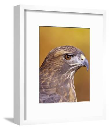 Red-Tailed Hawk, Buteo Jamaicensis, Head Showing its Eye and Bill, North America-Jack Michanowski-Framed Photographic Print
