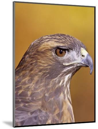 Red-Tailed Hawk, Buteo Jamaicensis, Head Showing its Eye and Bill, North America-Jack Michanowski-Mounted Photographic Print