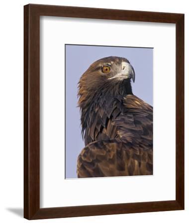 Golden Eagle Head Showing its Eye and Bill, Aquila Chrysaetos, North America-Jack Michanowski-Framed Photographic Print