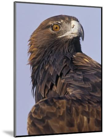 Golden Eagle Head Showing its Eye and Bill, Aquila Chrysaetos, North America-Jack Michanowski-Mounted Photographic Print