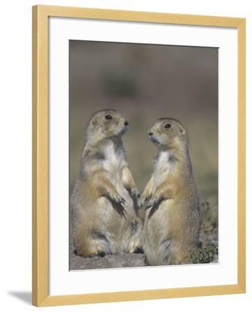 Black-Tailed Prairie Dogs Near the Opening to their Burrow, Cynomys Ludovicianus, Western USA-Joe McDonald-Framed Photographic Print