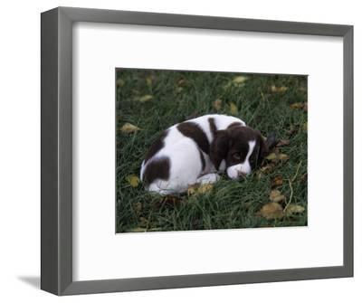 Brittany Spaniel Variety of Domestic Dog, 7 Week-Old Puppy-Cheryl Ertelt-Framed Photographic Print
