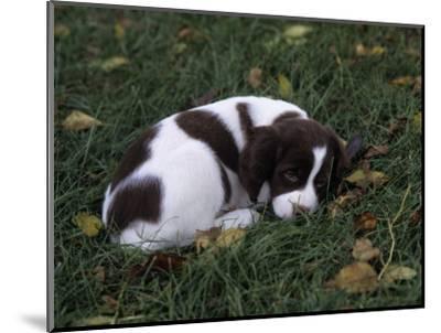 Brittany Spaniel Variety of Domestic Dog, 7 Week-Old Puppy-Cheryl Ertelt-Mounted Photographic Print