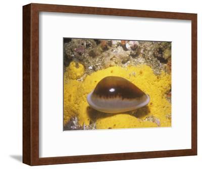 Chestnut Cowry (Cypraea Spadicea), Southern California, Usa, Pacific Ocean-Richard Herrmann-Framed Photographic Print