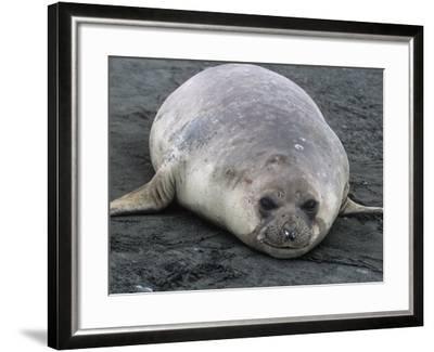 Southern Elephant Seal, Mirounga Leonina, South Georgia Islands, Antarctic Region-Gerald & Buff Corsi-Framed Photographic Print