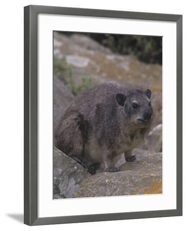 Bush Hyrax, Heterohyrax Brucei, Kenya, Africa-Gerald & Buff Corsi-Framed Photographic Print