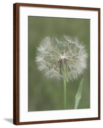 Goatsbeard Seed Head and Flower Bud (Tragopogon Pratensis), North America-Leroy Simon-Framed Photographic Print