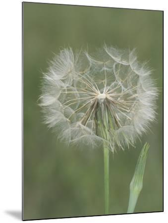 Goatsbeard Seed Head and Flower Bud (Tragopogon Pratensis), North America-Leroy Simon-Mounted Photographic Print