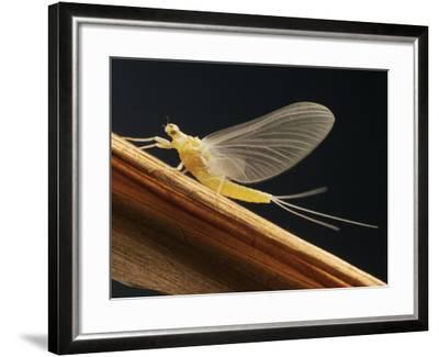 Mayfly Sub-Adult Female (Probably Ephemerella Dorothea)-Thomas Ames Jr.-Framed Photographic Print