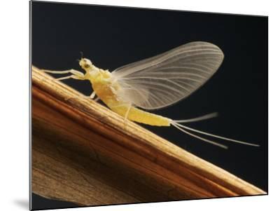 Mayfly Sub-Adult Female (Probably Ephemerella Dorothea)-Thomas Ames Jr.-Mounted Photographic Print