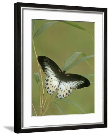Swallowtail Butterfly (Papilio Polymnestor), India-Leroy Simon-Framed Photographic Print