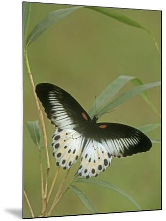 Swallowtail Butterfly (Papilio Polymnestor), India-Leroy Simon-Mounted Photographic Print