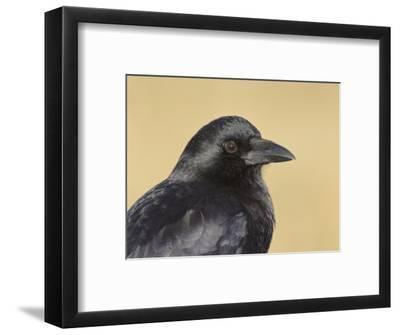 American Crow Head, Bosque Del Apache National Wildlife Refuge, New Mexico, USA-Arthur Morris-Framed Photographic Print