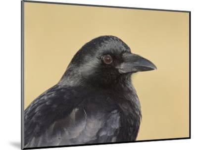 American Crow Head, Bosque Del Apache National Wildlife Refuge, New Mexico, USA-Arthur Morris-Mounted Photographic Print