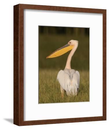 African White Pelican, Pelecanus Onocrotalus, Nakuru National Park, Kenya, Africa-Arthur Morris-Framed Photographic Print