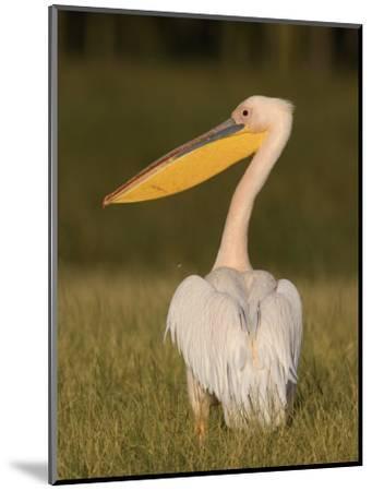 African White Pelican, Pelecanus Onocrotalus, Nakuru National Park, Kenya, Africa-Arthur Morris-Mounted Photographic Print