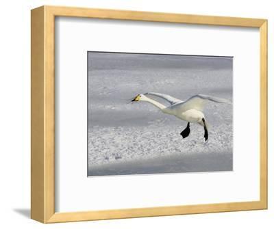 Whooper Swan in Flight, Olor Cygnus-John Cornell-Framed Photographic Print