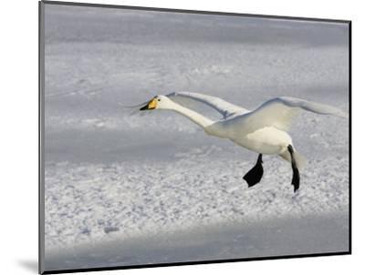 Whooper Swan in Flight, Olor Cygnus-John Cornell-Mounted Photographic Print