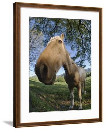 Fisheye View of Horse Looking over Fence, Cades Cove, Great Smoky Mountains N.P. TN-Adam Jones-Framed Photographic Print