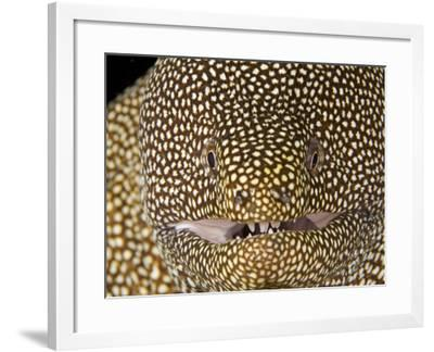 Whitemouth Moray Eel Head (Gymnothorax Meleagris), Hawaii, USA-David Fleetham-Framed Photographic Print