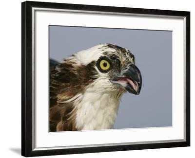 Osprey Head, Pandion Haliaetus, North America-Arthur Morris-Framed Photographic Print