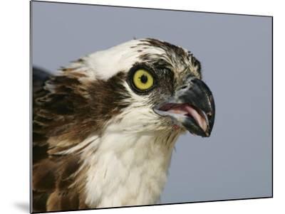 Osprey Head, Pandion Haliaetus, North America-Arthur Morris-Mounted Photographic Print