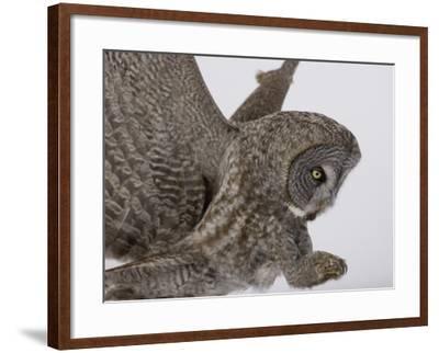 A Great Gray Owl Pouncing on its Prey, Strix Nebulosa, North America-Joe McDonald-Framed Photographic Print