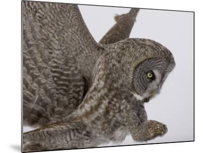 A Great Gray Owl Pouncing on its Prey, Strix Nebulosa, North America-Joe McDonald-Mounted Photographic Print