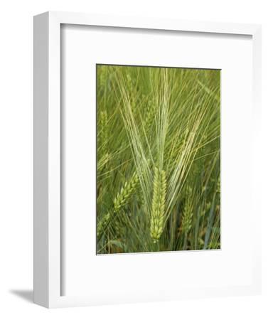 Barley Flowers (Hordeum Vulgare)-Walt Anderson-Framed Photographic Print
