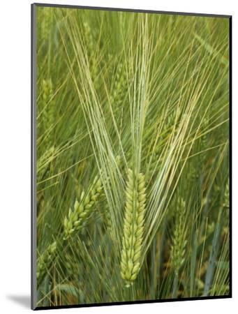 Barley Flowers (Hordeum Vulgare)-Walt Anderson-Mounted Photographic Print