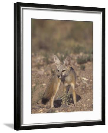 Kit Fox (Vulpes Macrotis), Southwestern North America-Rick & Nora Bowers-Framed Photographic Print