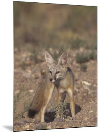 Kit Fox (Vulpes Macrotis), Southwestern North America-Rick & Nora Bowers-Mounted Photographic Print