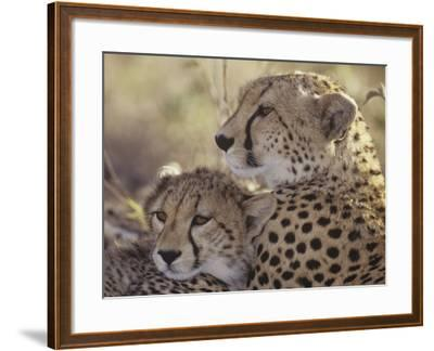 Cheetah Cub with its Mother, Acinonyx Jubatus, East Africa-Gerald & Buff Corsi-Framed Photographic Print