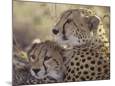 Cheetah Cub with its Mother, Acinonyx Jubatus, East Africa-Gerald & Buff Corsi-Mounted Photographic Print