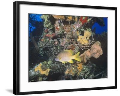 Schoolmaster Snapper (Lutjanus Apodus) Among Corals, Caribbean-Joan Richardson-Framed Photographic Print