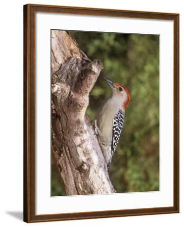 Red-Bellied Woodpecker, Melanerpes Carolinus-Gary Carter-Framed Photographic Print