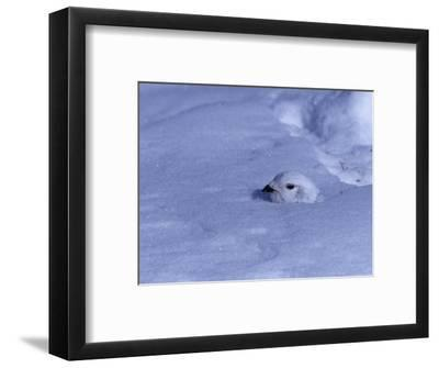 White-Tailed Ptarmigan, Lagopus Leucurus, in Winter Plumage Almost Buried by Snow, North America-Charles Melton-Framed Photographic Print