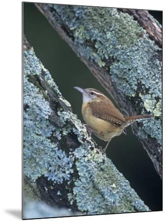 Carolina Wren (Thryothorus Ludovicianus). Eastern USA-Steve Maslowski-Mounted Photographic Print