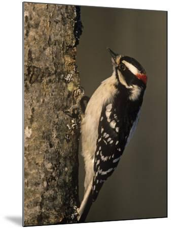 Downy Woodpecker at its Nest Hole in a Tree, Picoides Pubescens, Michigan, USA-John & Barbara Gerlach-Mounted Photographic Print