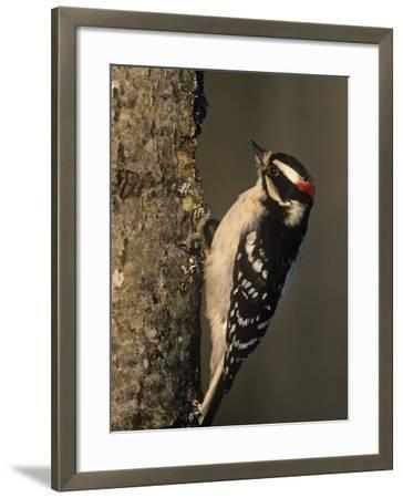 Downy Woodpecker at its Nest Hole in a Tree, Picoides Pubescens, Michigan, USA-John & Barbara Gerlach-Framed Photographic Print