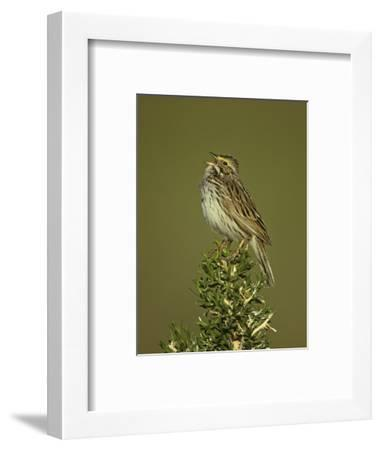 Savannah Sparrow Singing, Passerculus Sandwichensis, Western USA-John & Barbara Gerlach-Framed Photographic Print