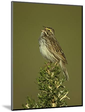Savannah Sparrow Singing, Passerculus Sandwichensis, Western USA-John & Barbara Gerlach-Mounted Photographic Print
