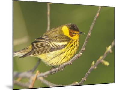 Cape May Warbler, Dendroica Tigrina, Eastern USA-Arthur Morris-Mounted Photographic Print