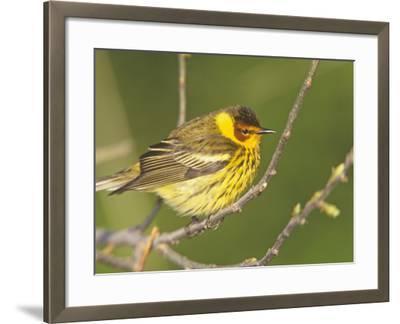 Cape May Warbler, Dendroica Tigrina, Eastern USA-Arthur Morris-Framed Photographic Print
